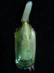 Brachiopoden