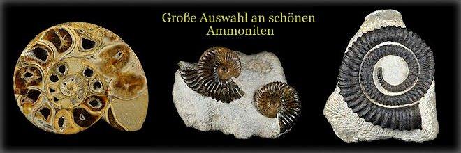 Ammoniten zum Kaufen